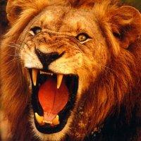 Tiens, c'est la St quoi aujourd'hui ? Lion